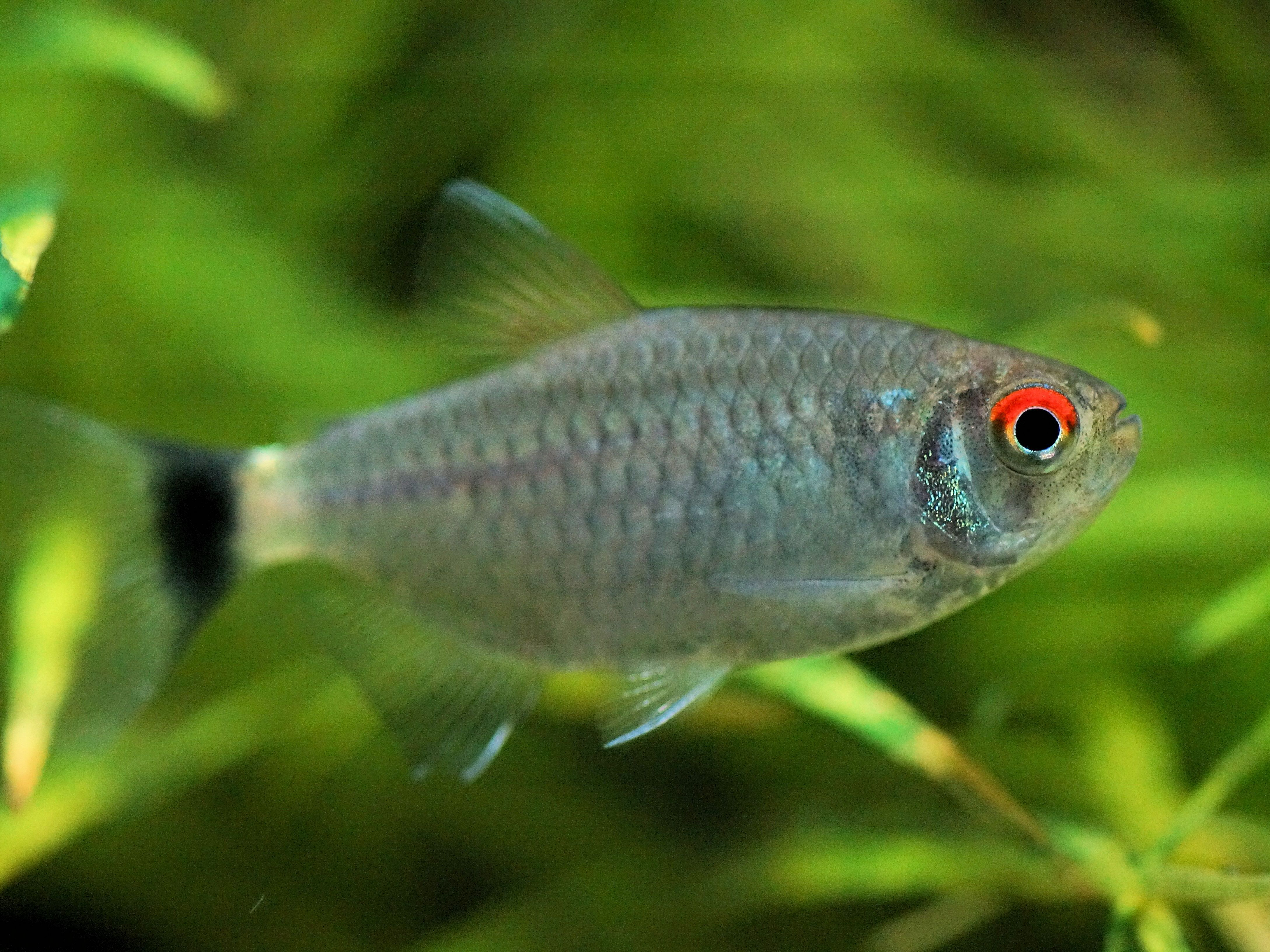 Redeye Tetra Fish Species Profile