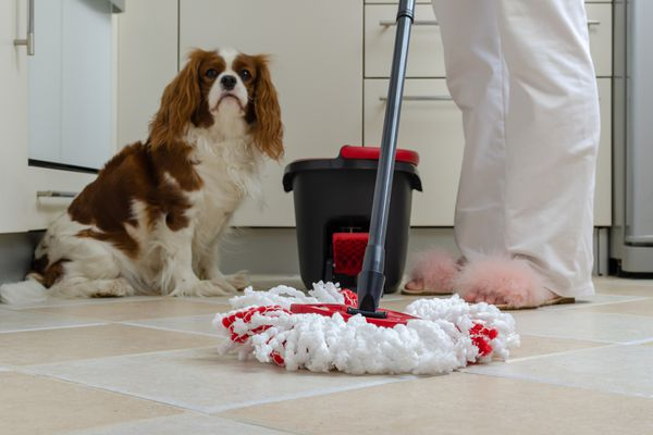 Cavalier King Charles with mop