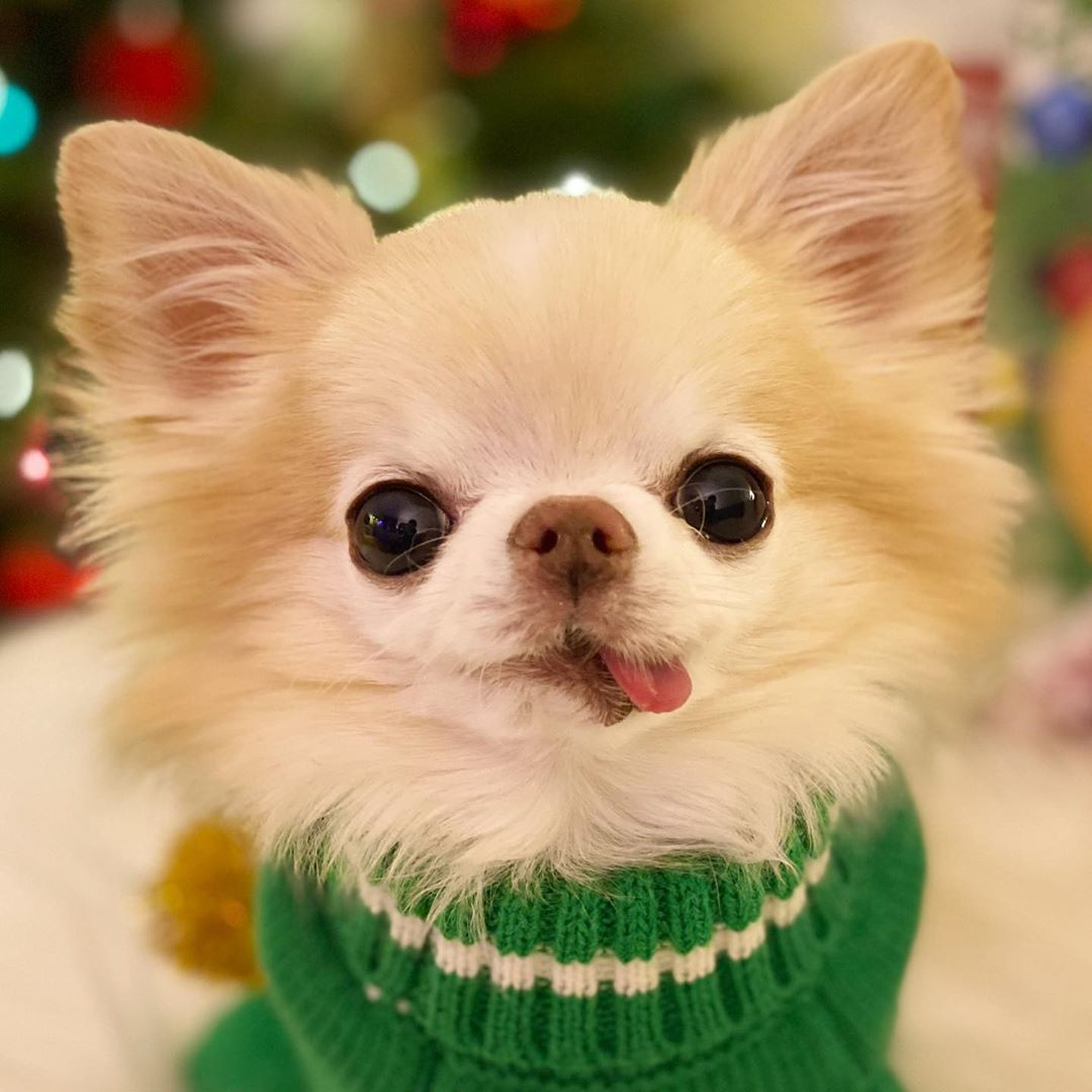 A white chihuahua wearing a green sweater looking at the camera with its tongue hanging out.