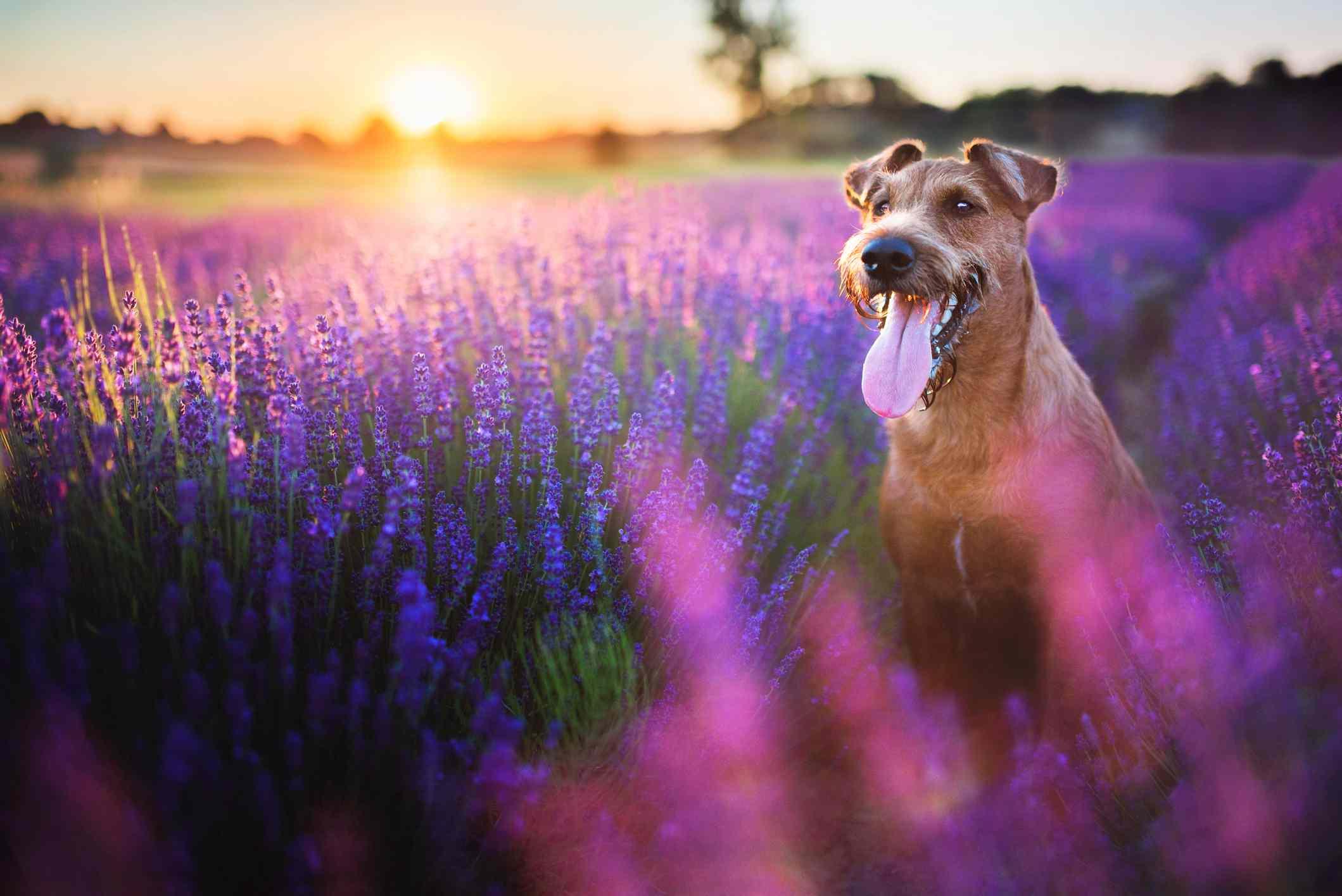 Brown dog sitting in field of purple flowers