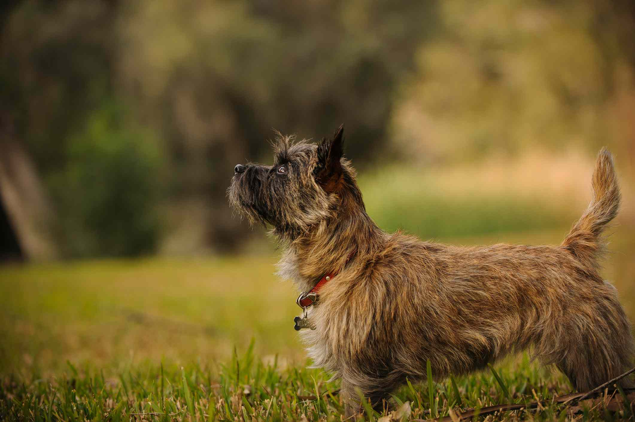 Side profile of cairn terrier in field