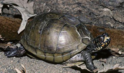 Three-toed Box Turtle, Terrapene carolina triunguis, central USA