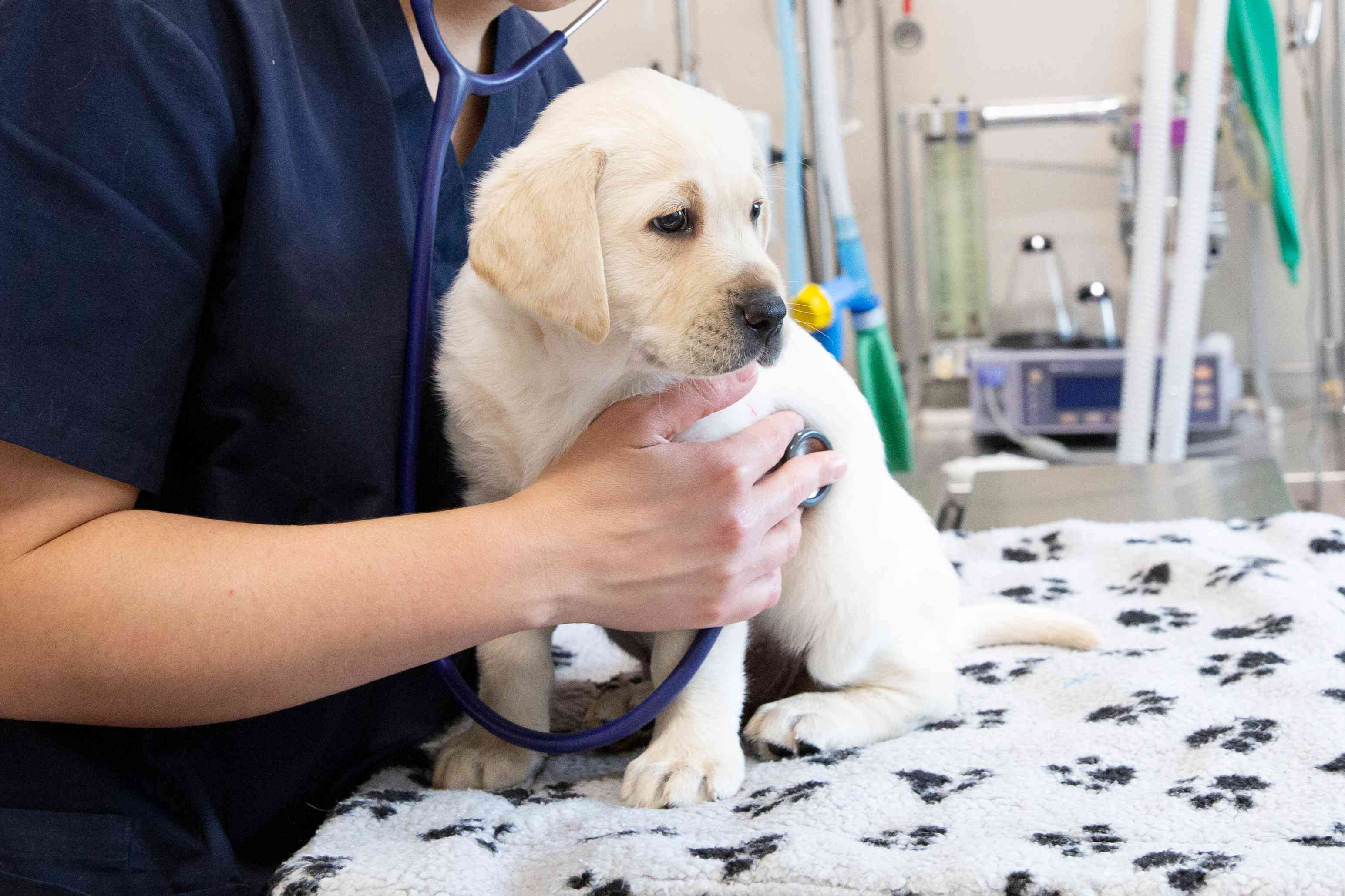 White labrador puppy being checked by veterinarian
