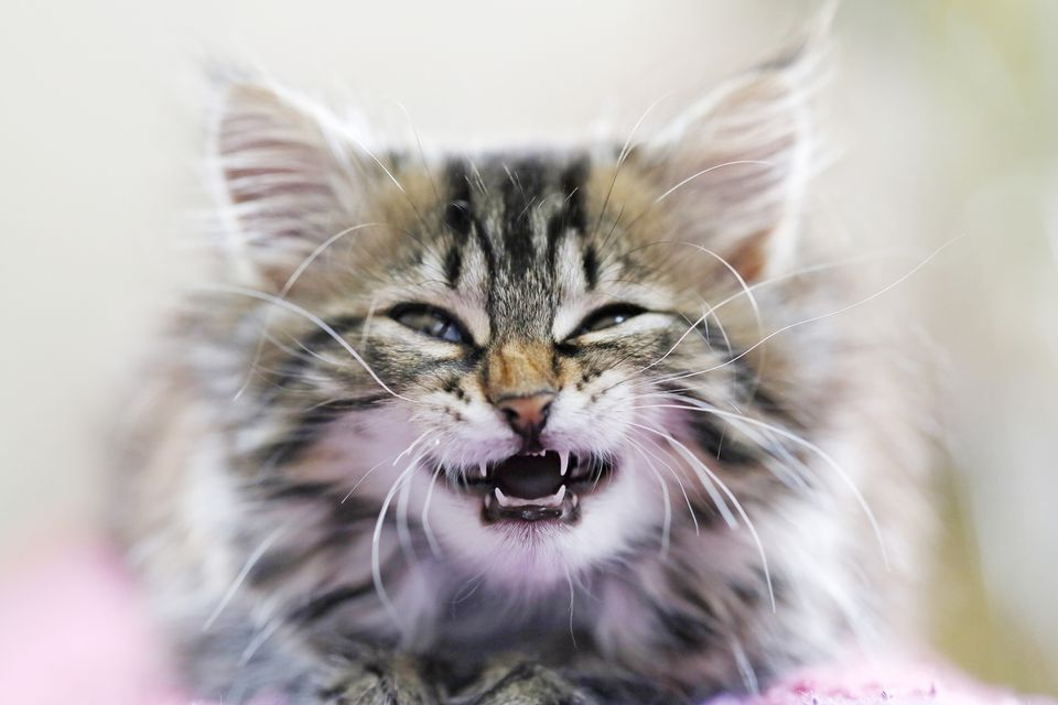 Kitten bearing its teeth