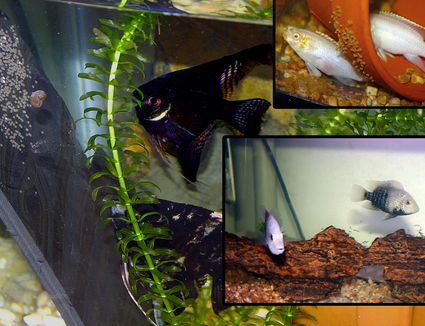 Breeding Aquarium Fish Basic Breeding Questions For Beginners