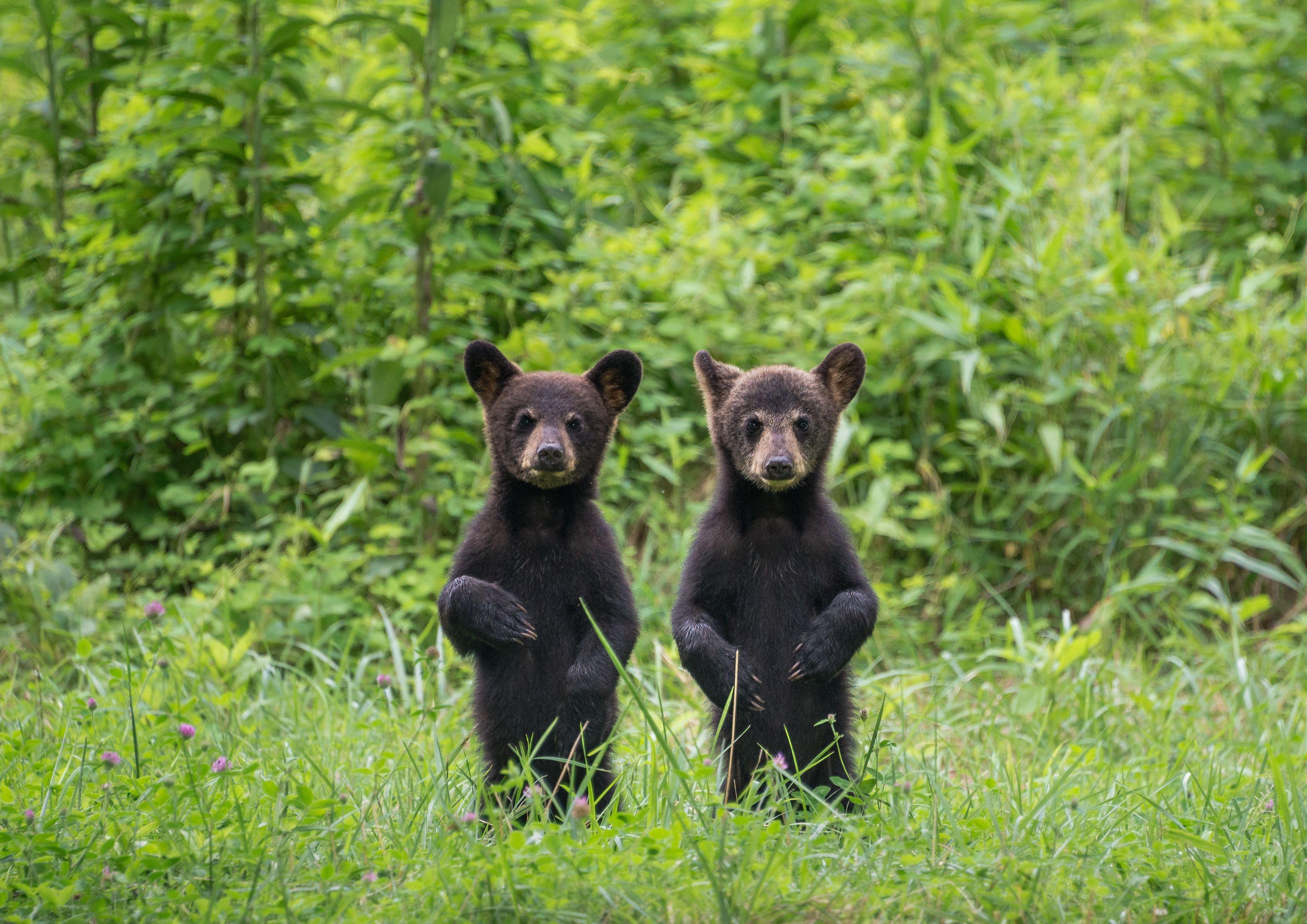 Cachorros de oso sentados sobre las patas traseras en la hierba