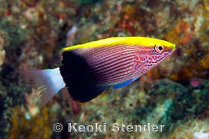 Juvenile Hawaiian Hogfish (Bodianus albotaeniatus)