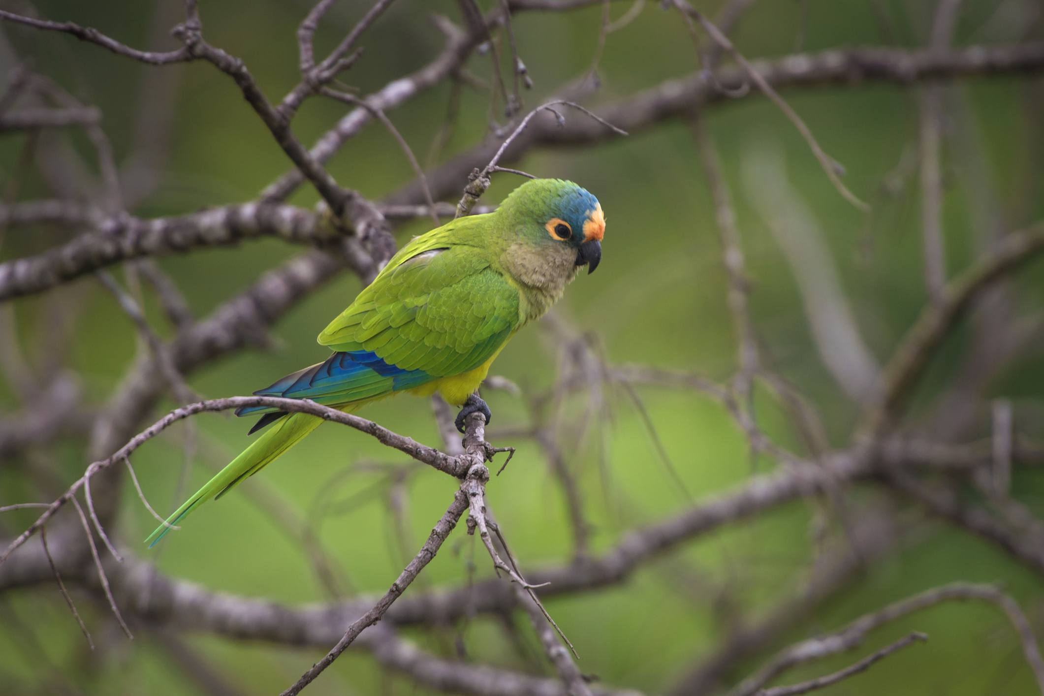 A single Illiger's macaw standing on a branch.