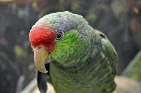 green cheeked amazon parrot bird species profile