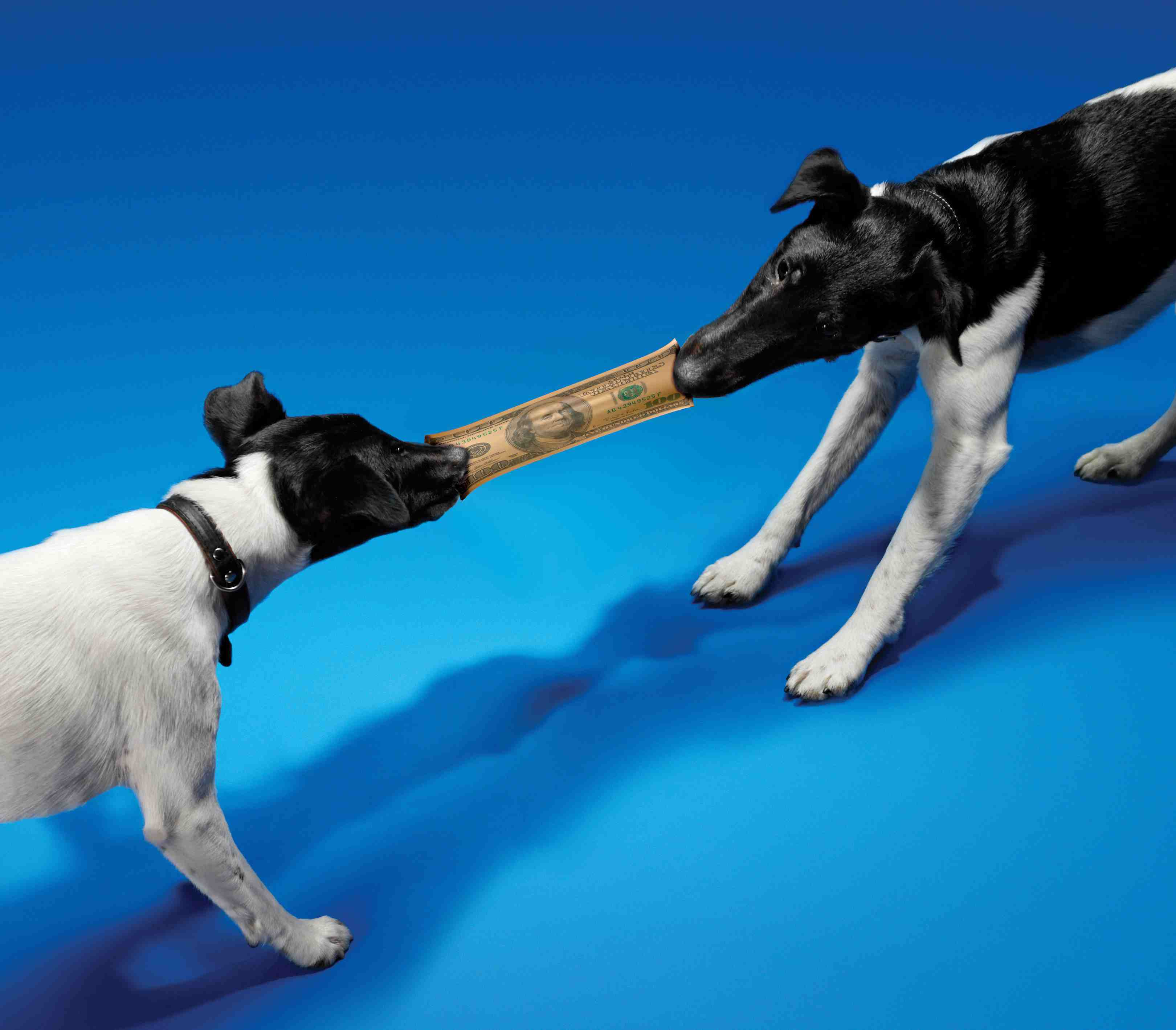 two dogs play tug of war over money