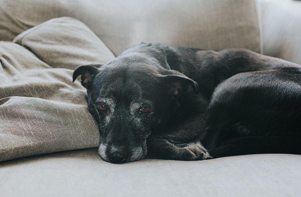 Black senior dog curled up on sofa looking at camera.