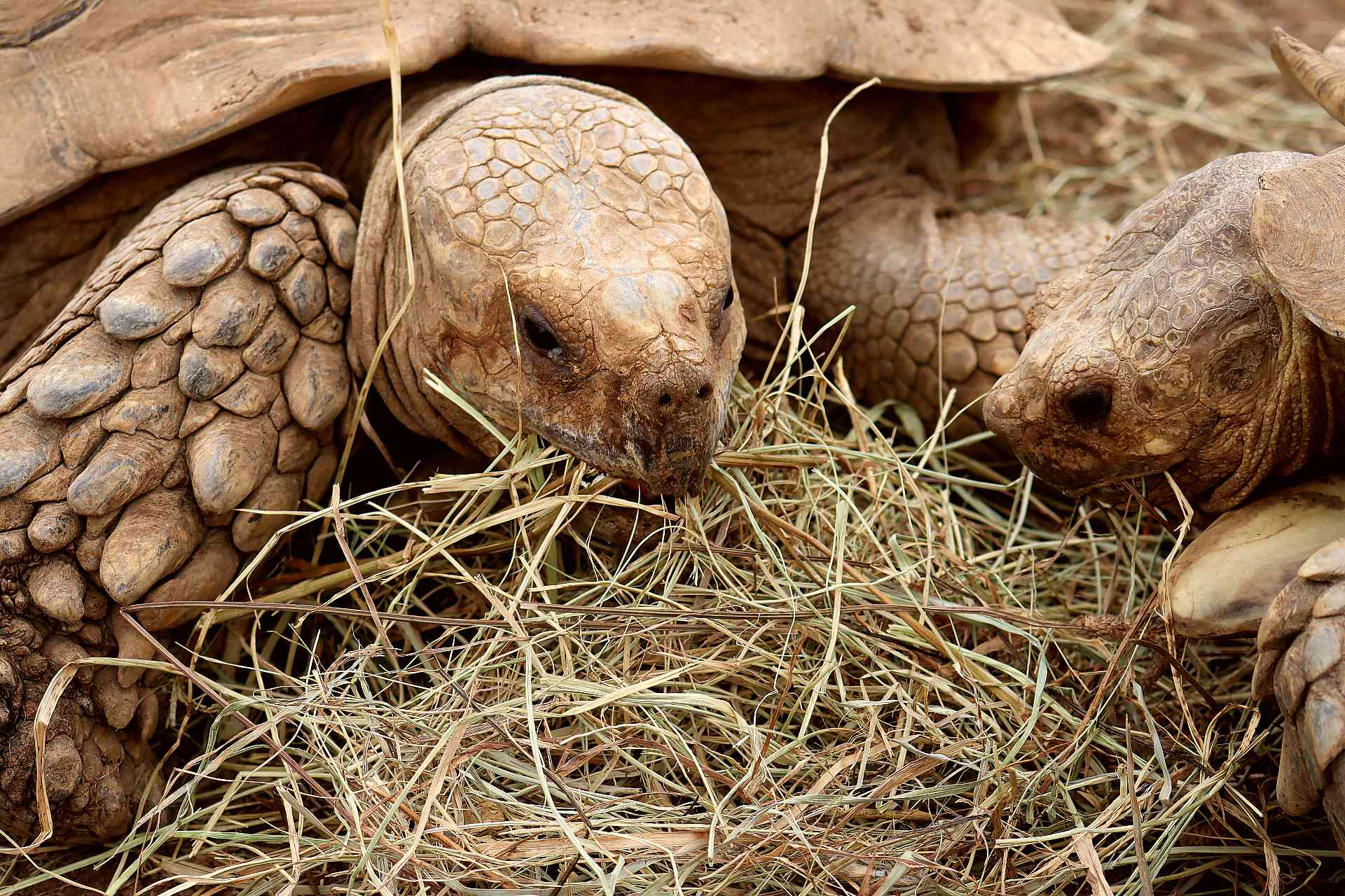 Two sulcata tortoises eating straw hay closeup