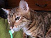 A cat sniffs a toothbrush