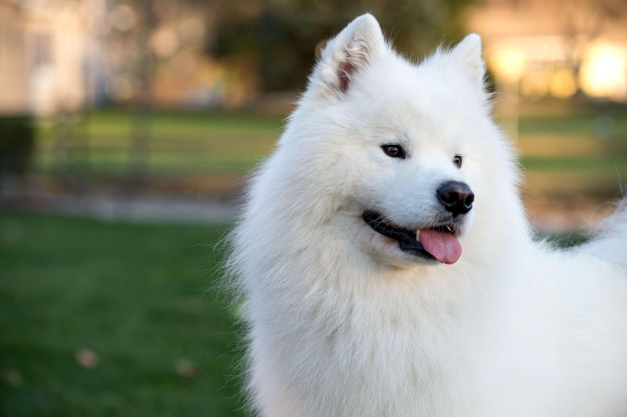 Retrato de perro samoyedo