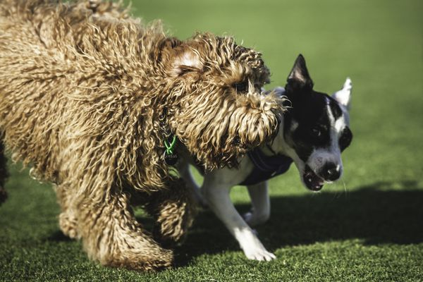 two dogs playing together on green grass