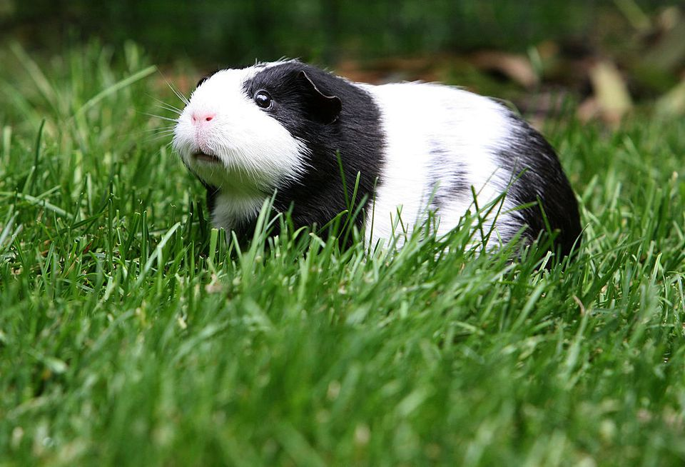 Guinea pig playing outside