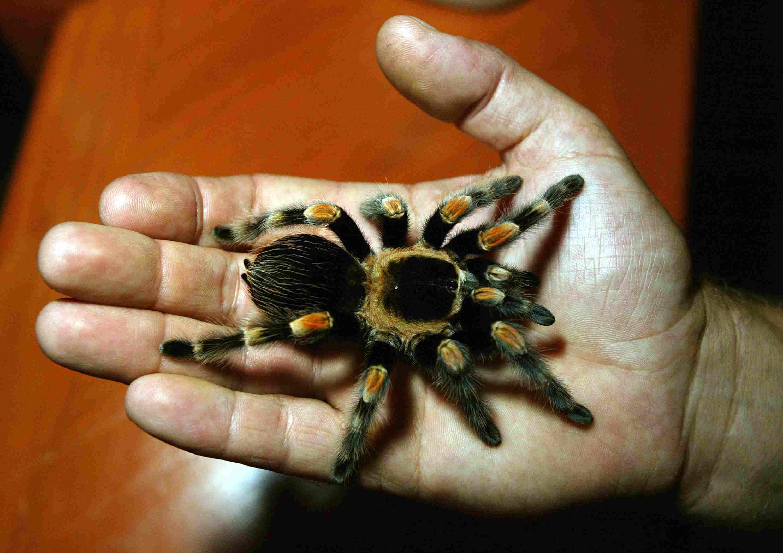 Tarantula in a hand