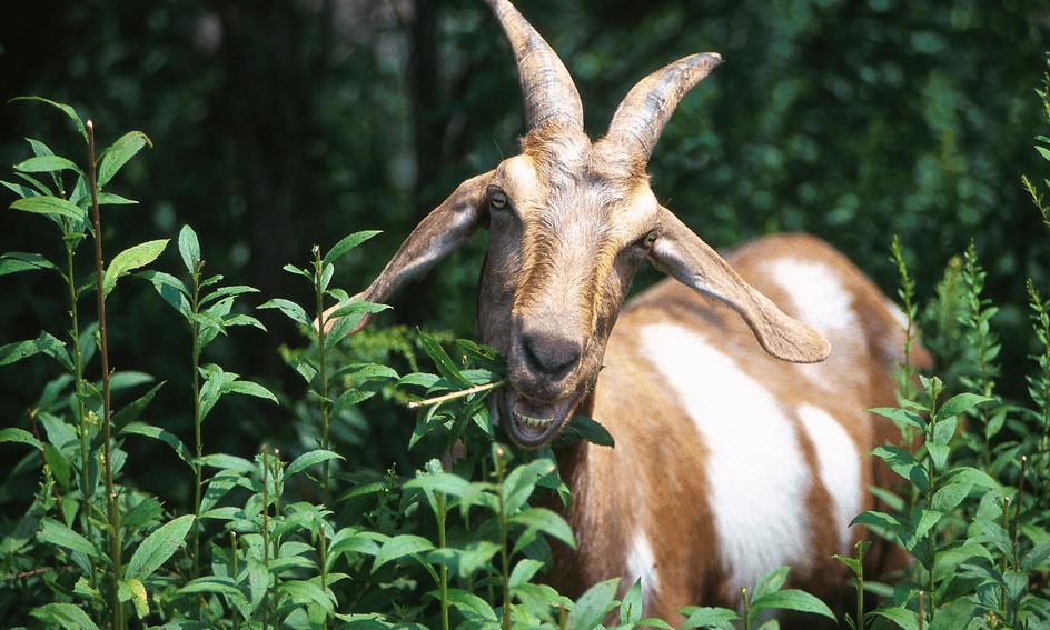 Goat foraging