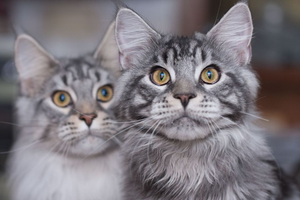Photo of Brother and Sister Maine Coons