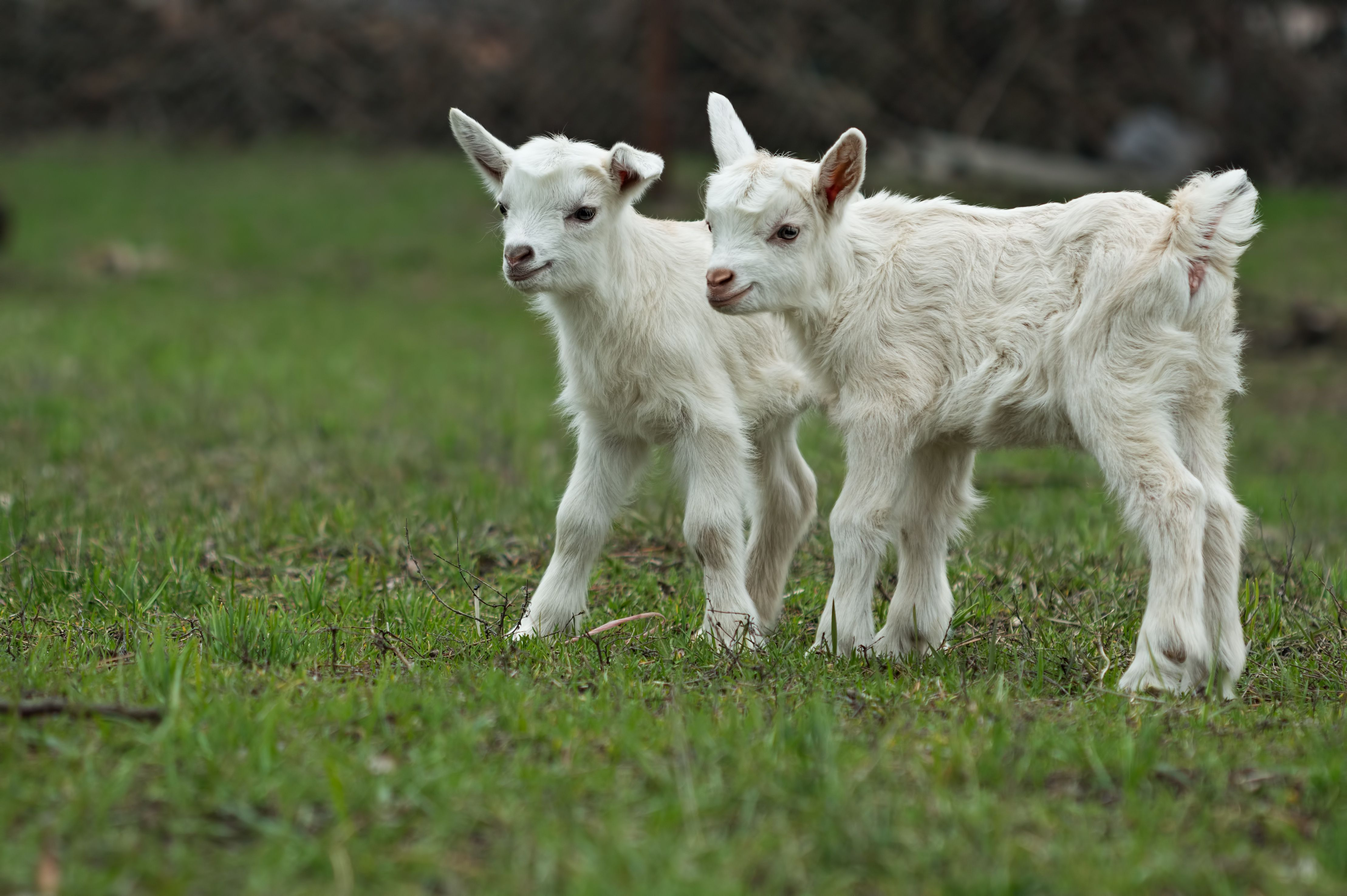 Two Little Goats On A Greed Grass