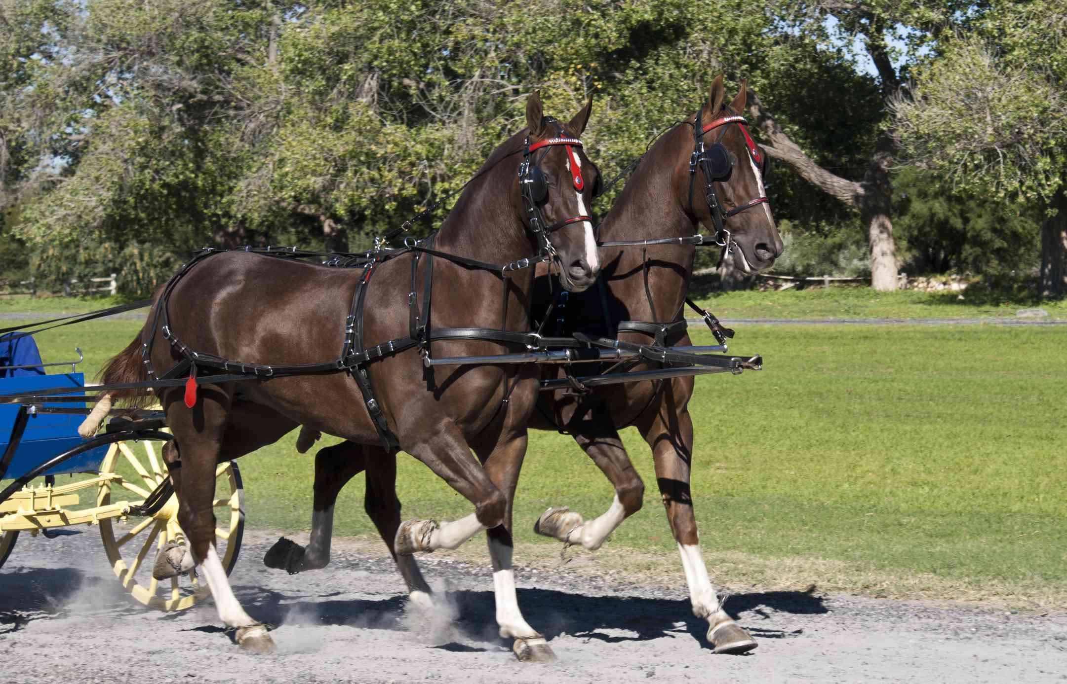 Pair of Saddlebreds driving in tandem.