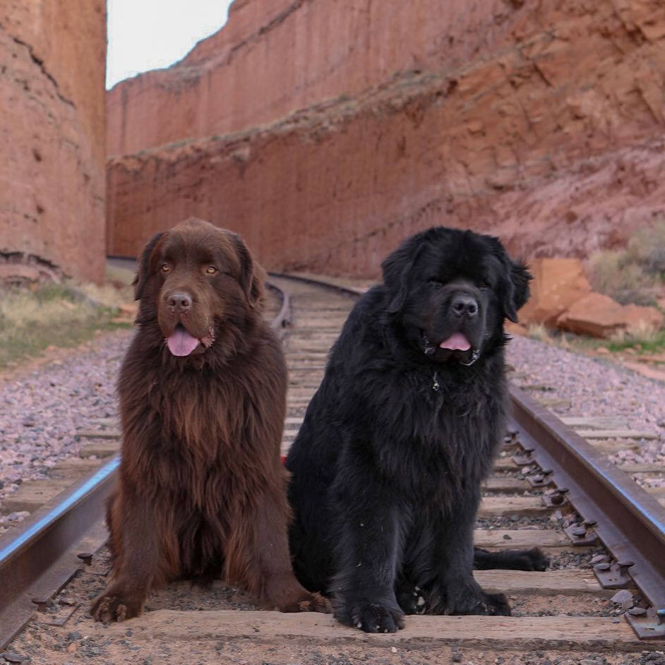 Two newfoundland dogs sitting on train tracks in a canyon smiling