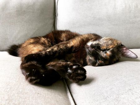 Tortoiseshell Cat Facts and Pictures