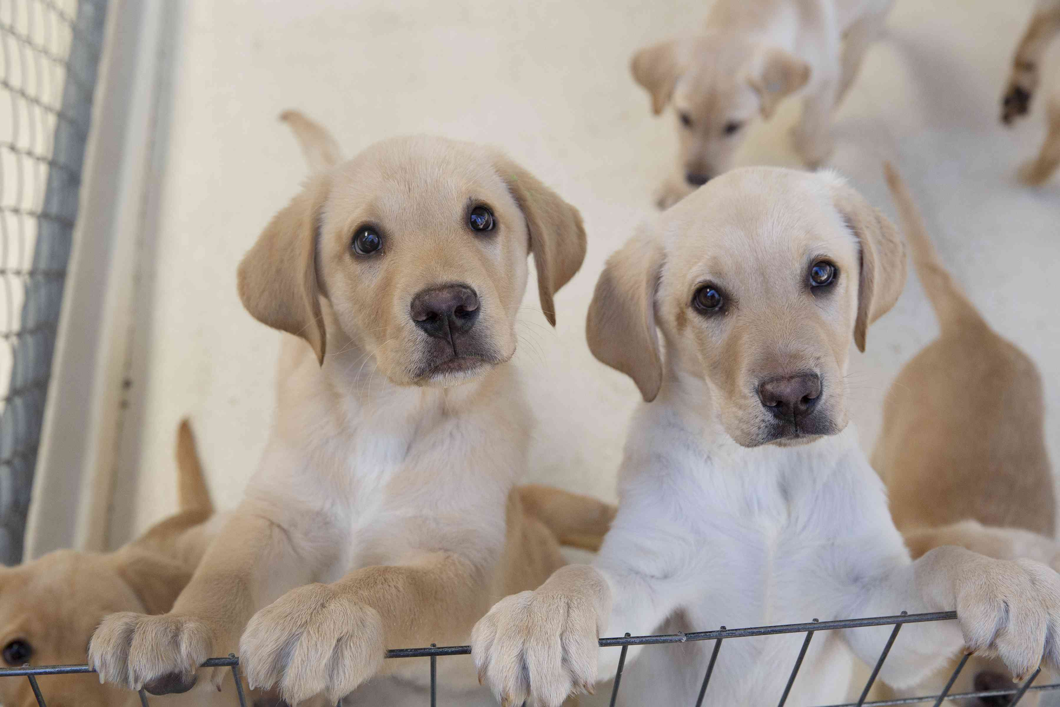 Multiple white and tan labrador puppies looking up and leaning on wire barrier