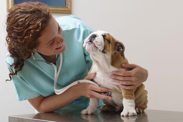 Veterinarian Examining Smiling Bulldog Puppy