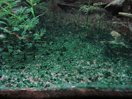 Cyanobacteria or Blue-Green Algae in an Aquarium