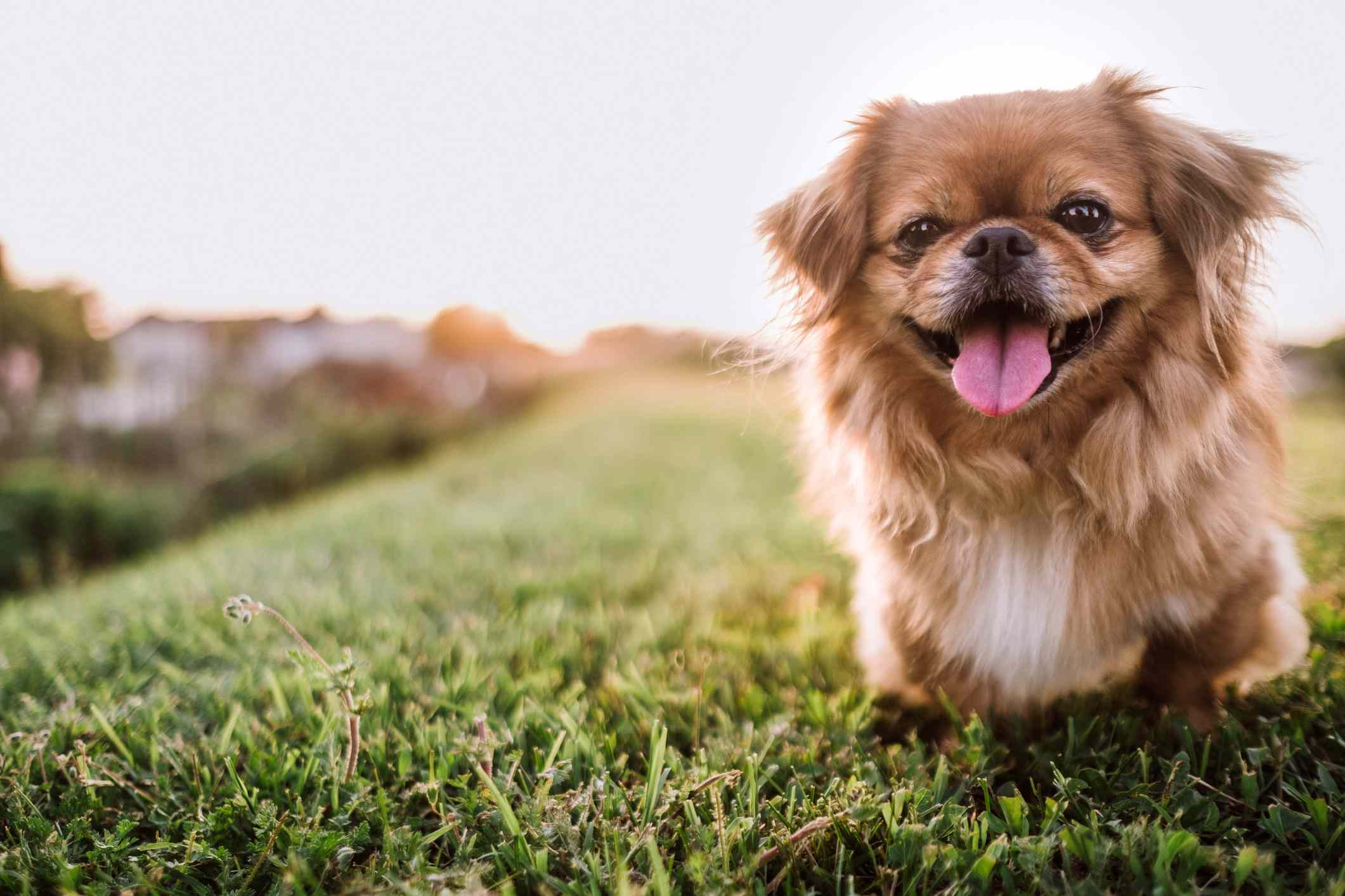 A blond Pekingese dog running in the grass with its tongue out.