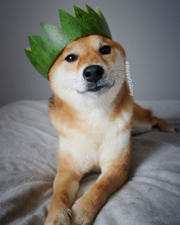 A tan Shiba Inu dog laying on the bed, looking at the camera while wearing a DIY crown.