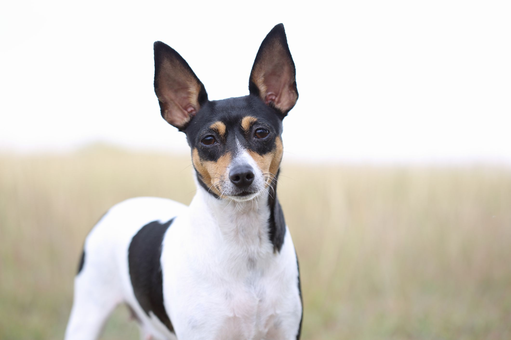 Toy Fox Terrier outside in front of tall grass.