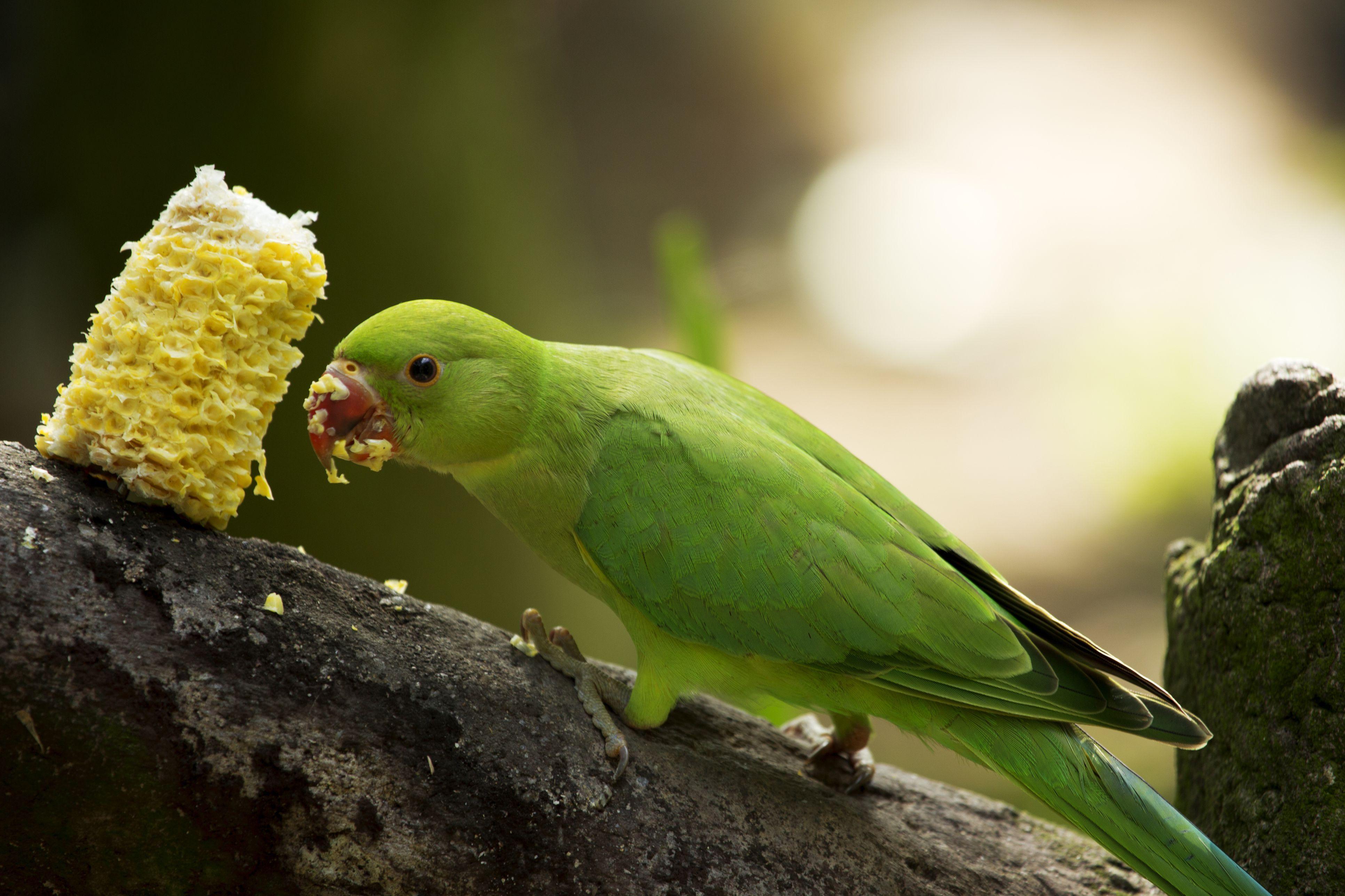 Green parrot bird eating corn
