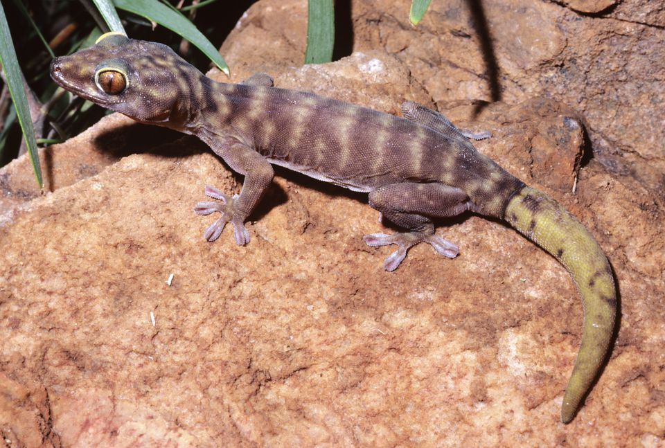 Giant cave gecko, Pseudothecadactylus lindneri, with regenerated tail, El Sharana, Northern Territory, Australia