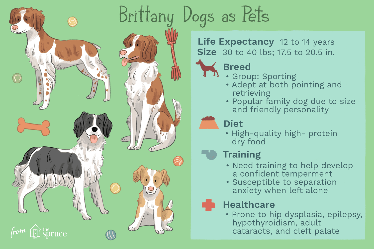 brittany dogs as pets illustration
