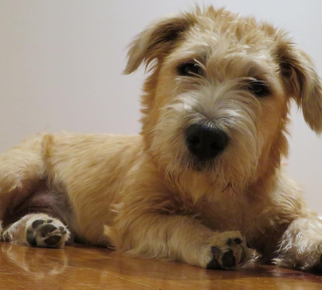 glen of imaal terrier on the floor