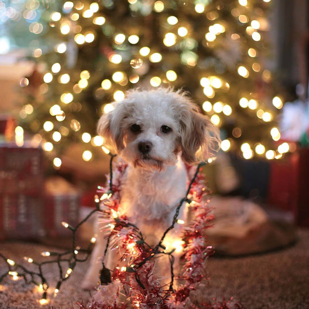 A small dog tangled up in Christmas lights