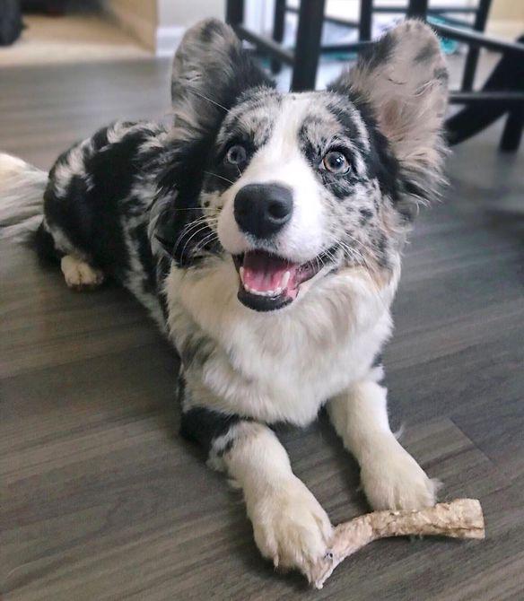 A merle Corgi puppy eating a treat.