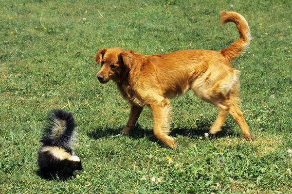 A doggie-skunk run-in