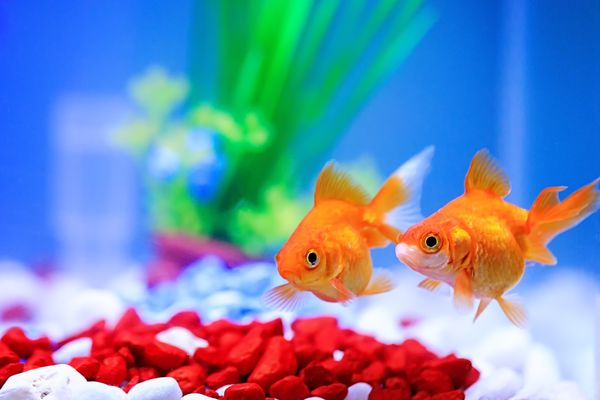 Two goldfish in a fish tank