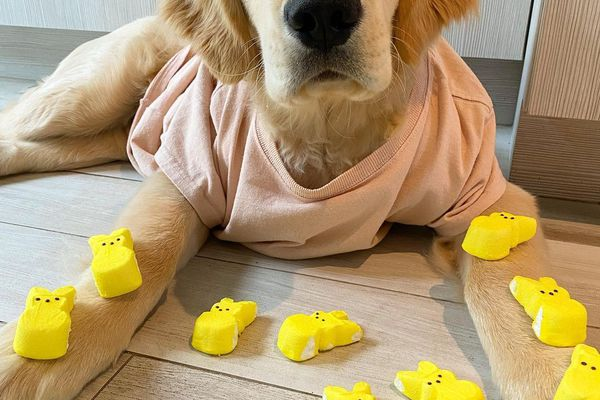 A Golden Retriever wearing a t-shirt laying down with yellow peeps on his arms and in front of him.