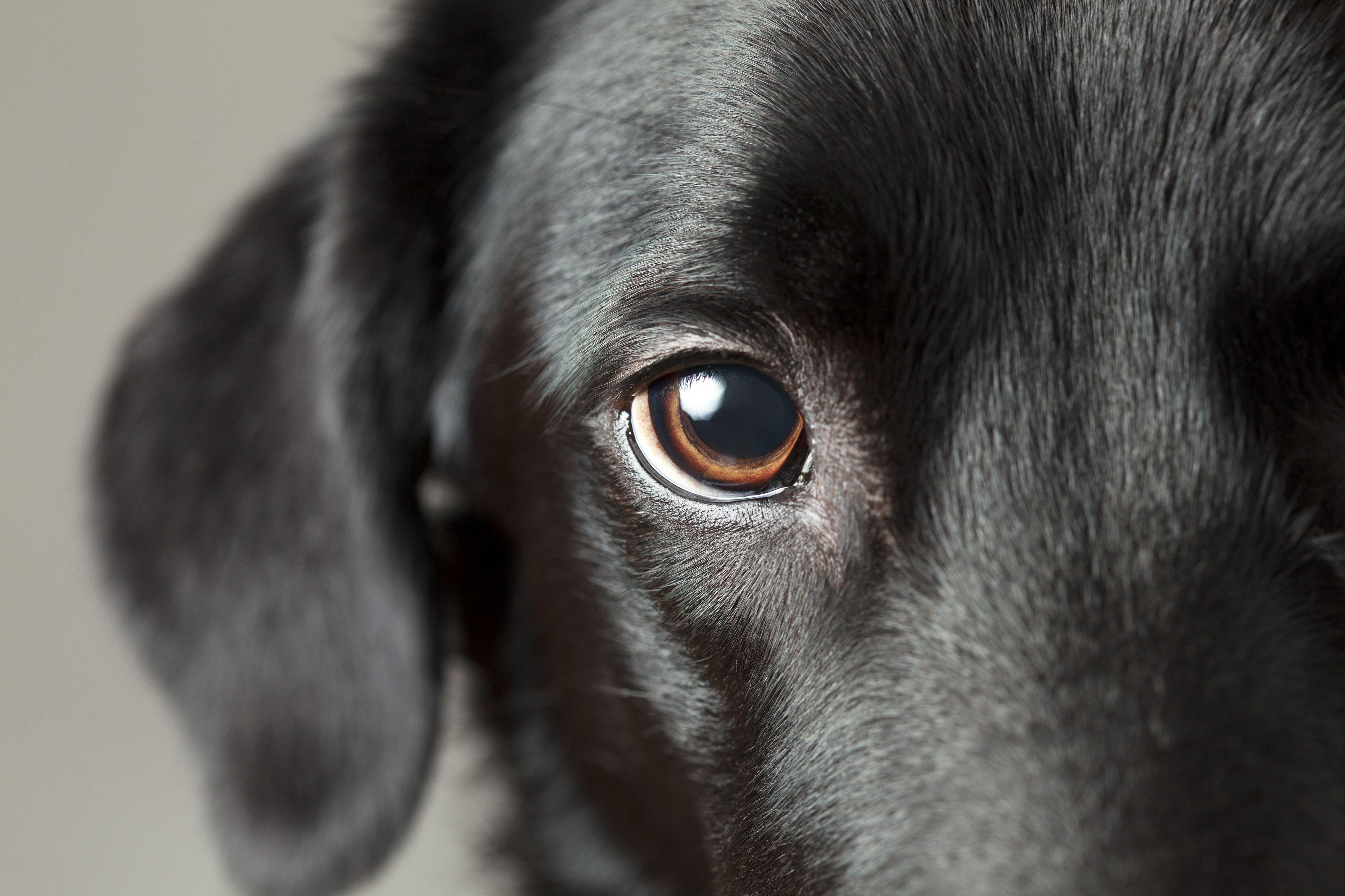 Primer plano del ojo del perro