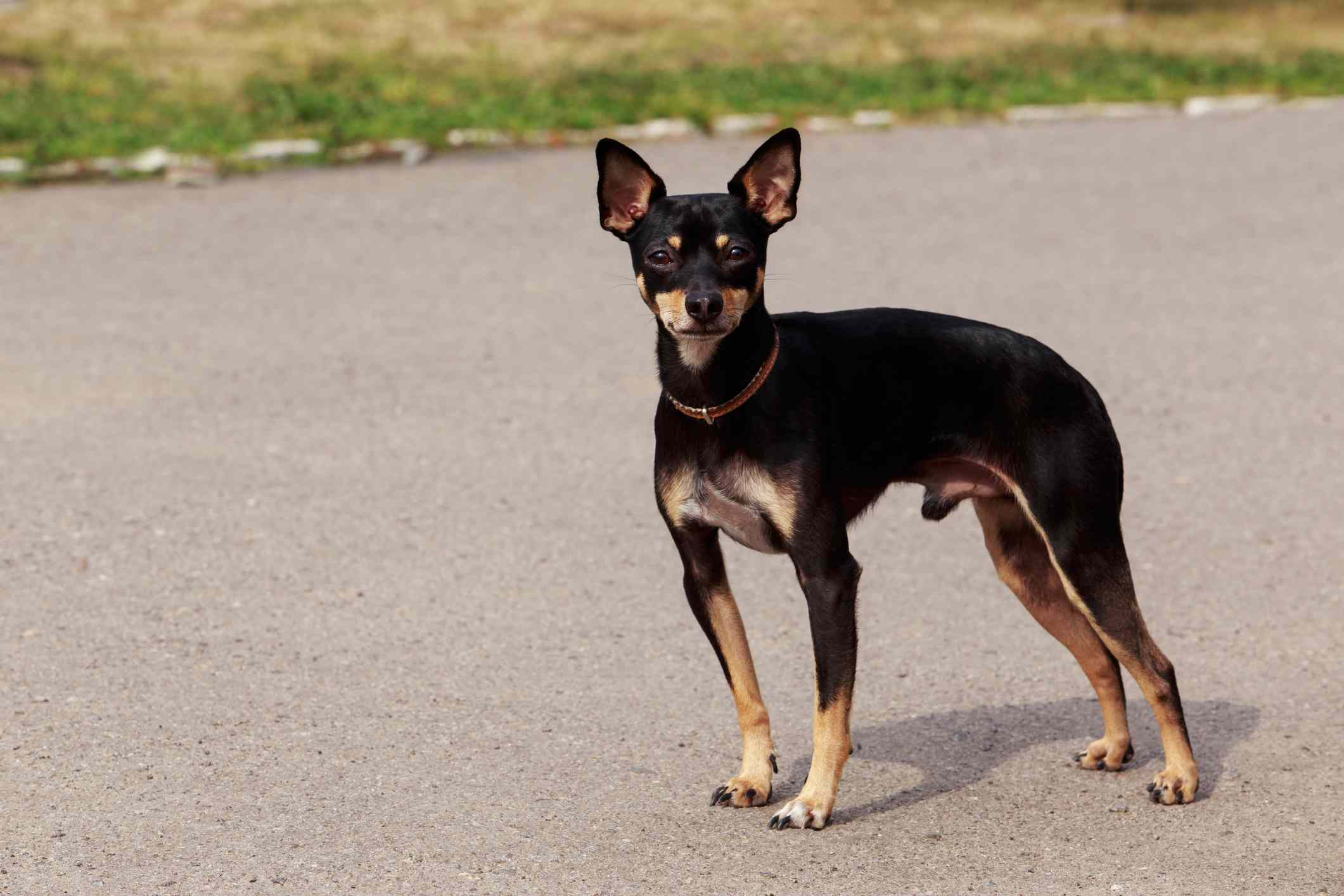 English toy terrier standing outside