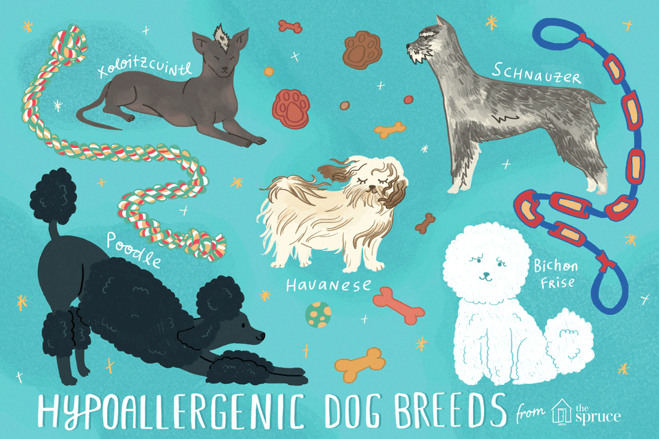 illustration of hypoallergenic dog breeds