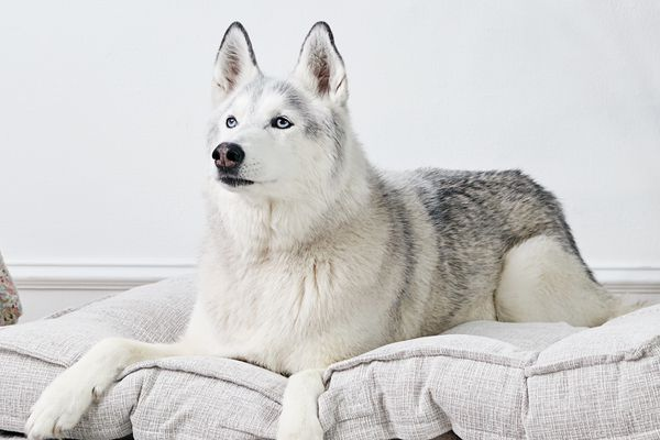 a husky lounging on a dog bed