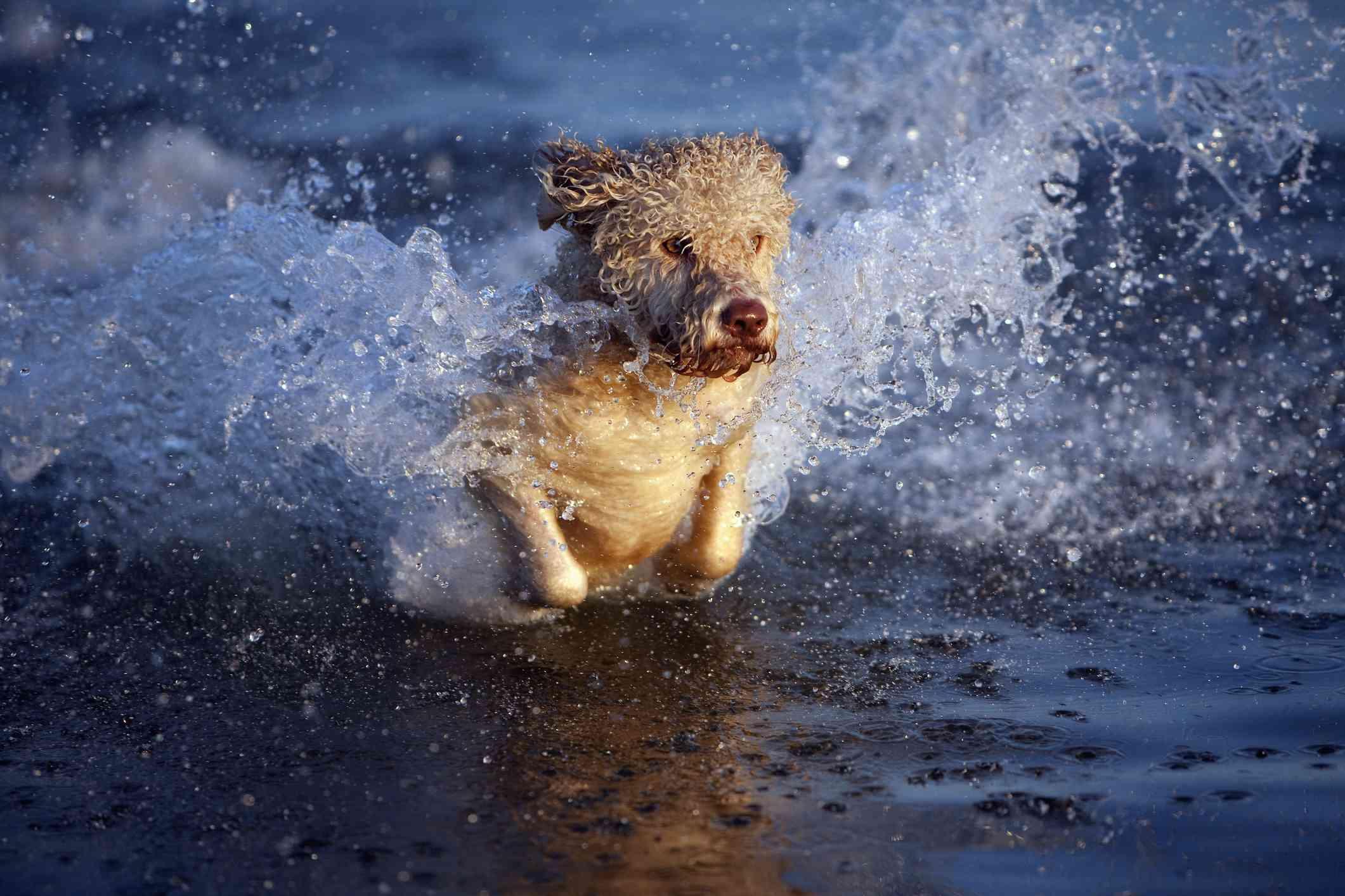 Portuguese Water Dog swimming