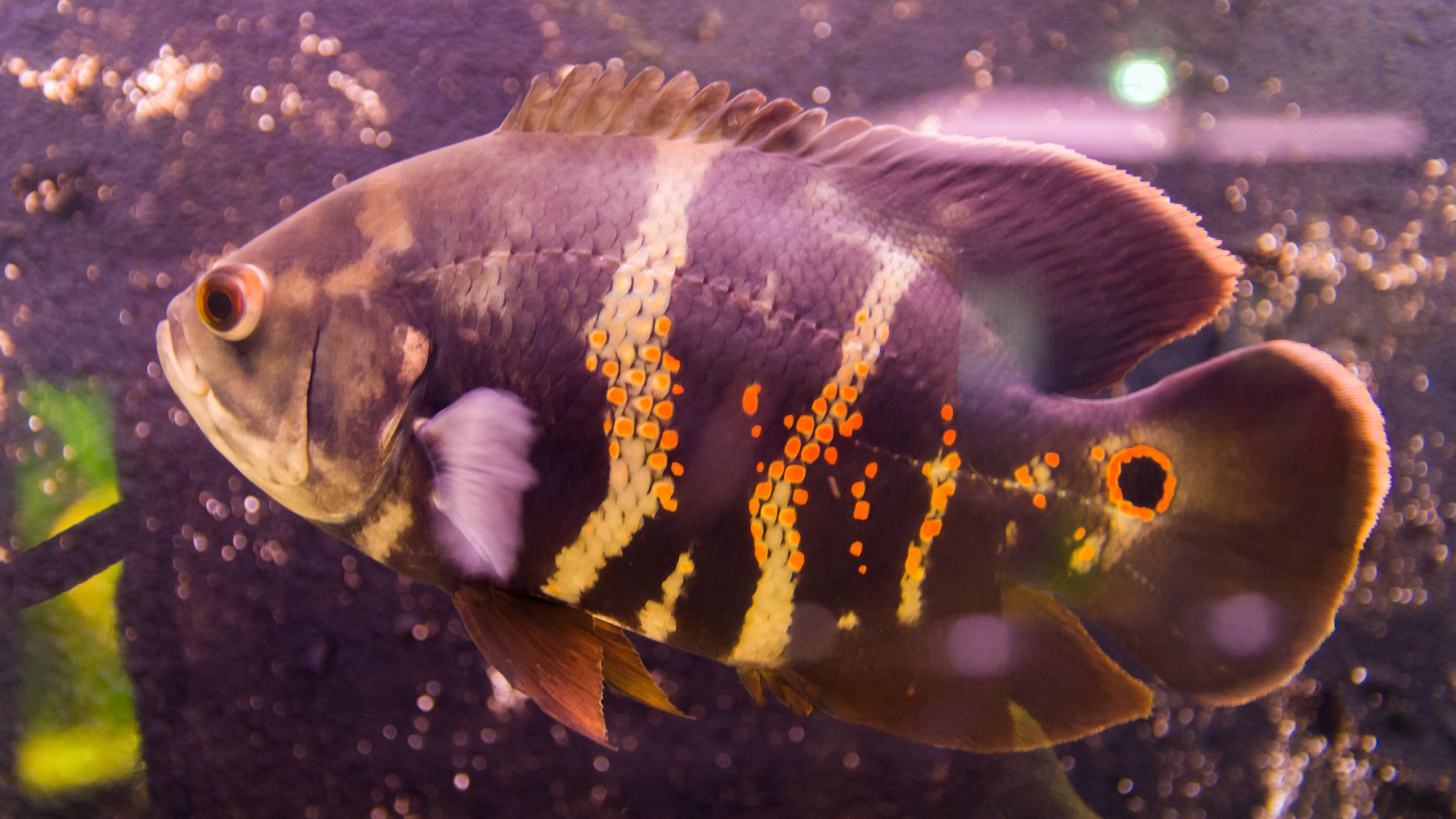 Oscar Fish Species