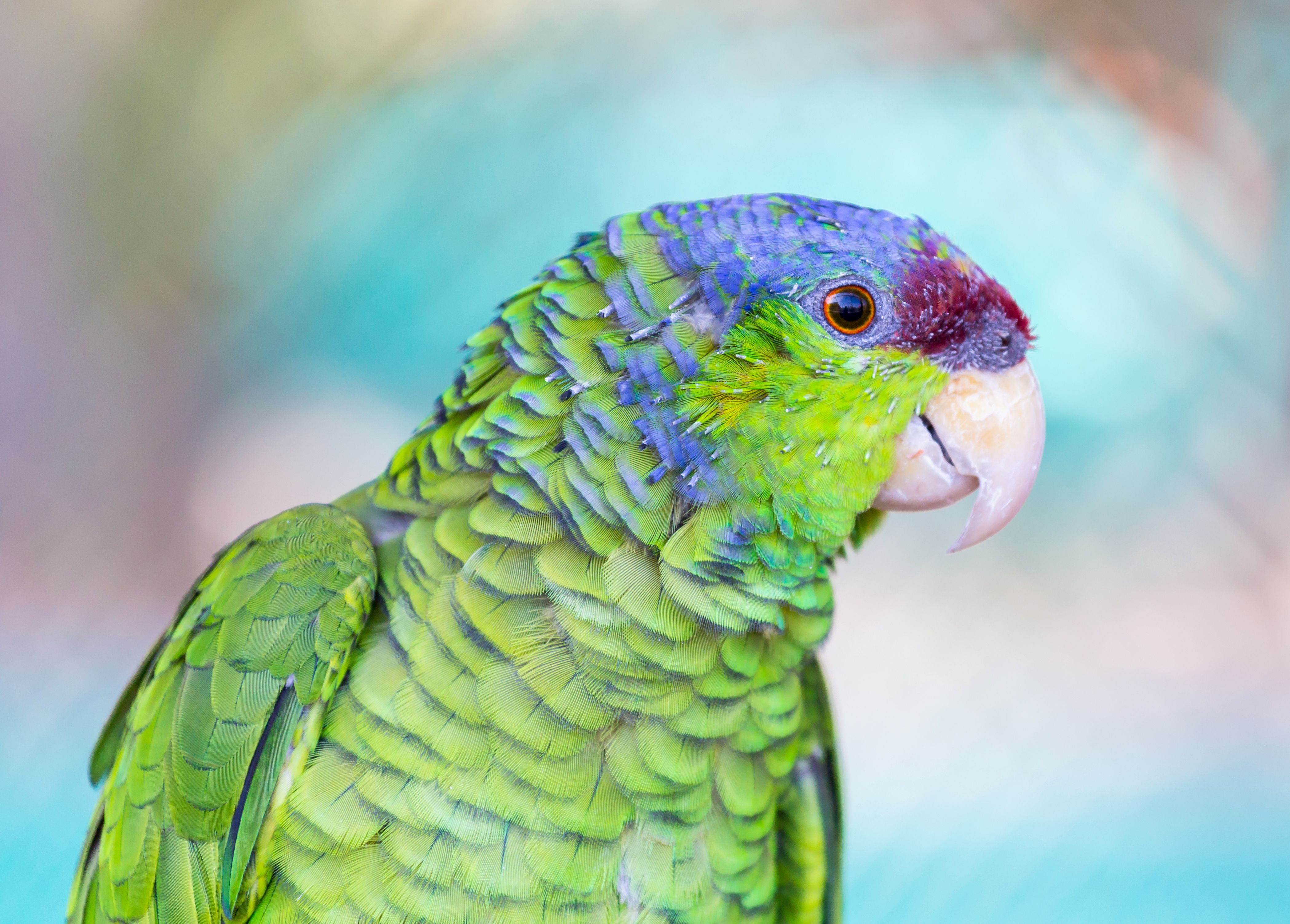 Lilac-crowned Amazon