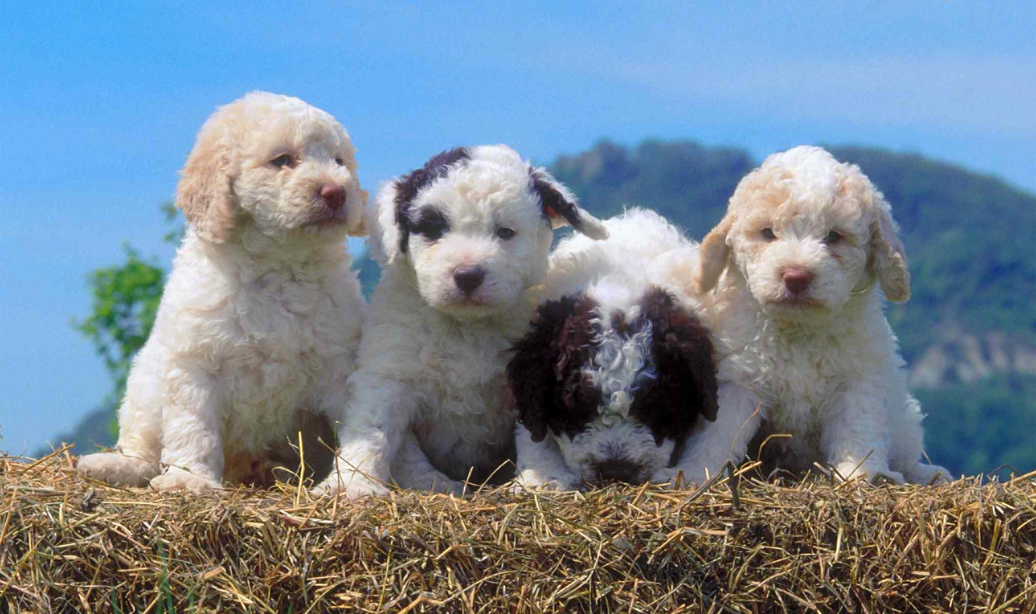 Lagotto Romagnolo Puppies
